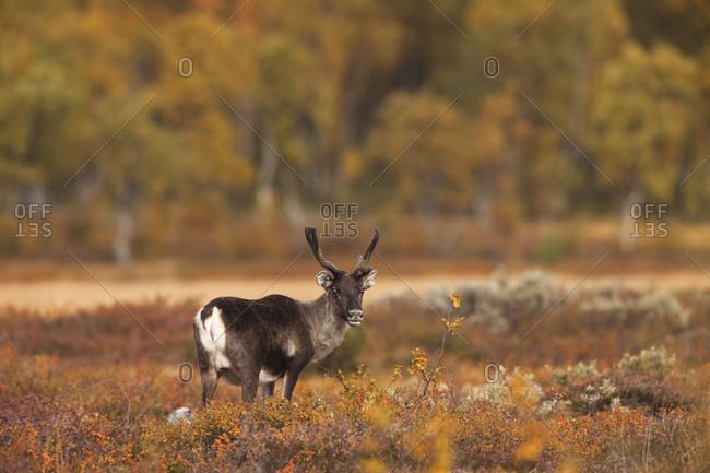 Mountain reindeer (rangifer tarandus tarandus)