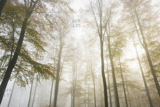 European beech (fagus sylvatica) forest in mist