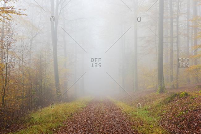 Path through misty European beech (fagus sylvatica) forest