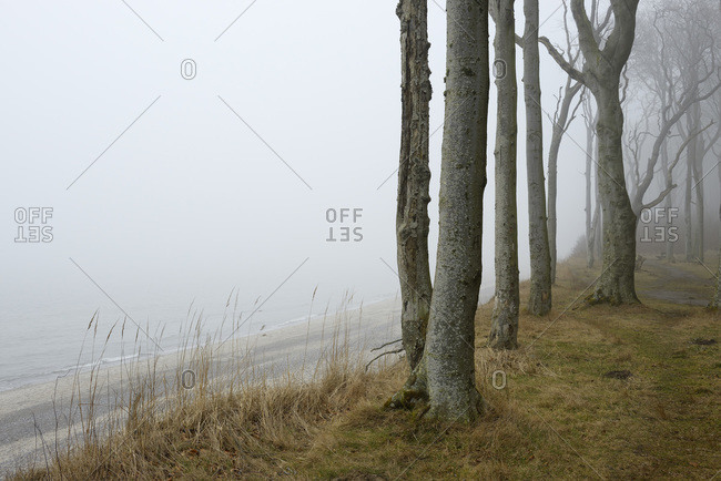 Coastal beech forest with fog and Baltic sea