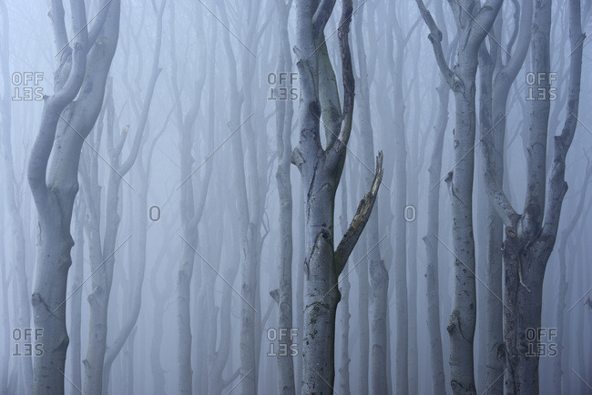 Coastal beech forest with fog