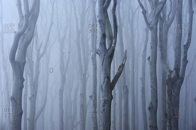 Coastal beech forest with fog