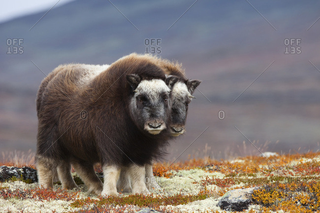 Young muskoxes (ovibos moschatus)