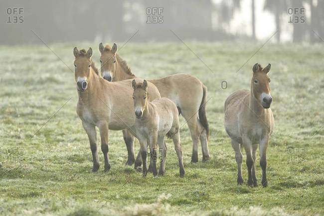 Group of przewalski\'s horses (equus ferus przewalskii) on meadow in autumn
