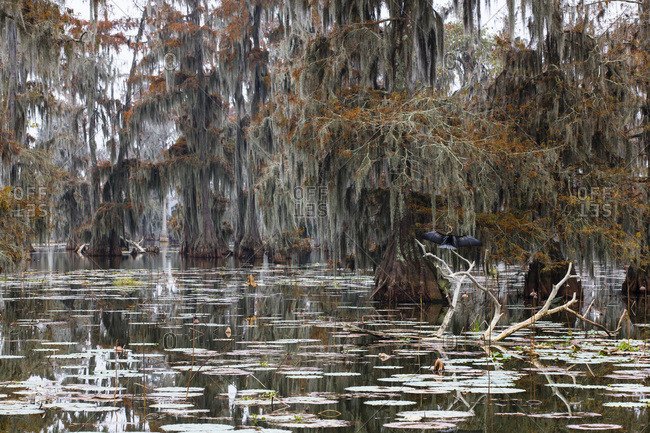 Swamp cypress trees (taxodium distichum) in autumn colors on Lake Martin