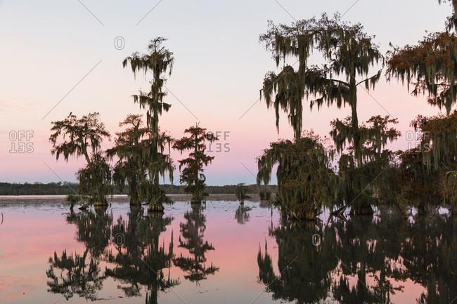 Swamp cypress trees (taxodium distichum) in autumn at dawn