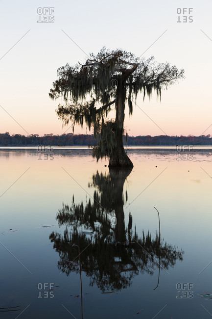 Silhouetted swamp cypress tree (taxodium distichum) on frosty autumn morning at dawn