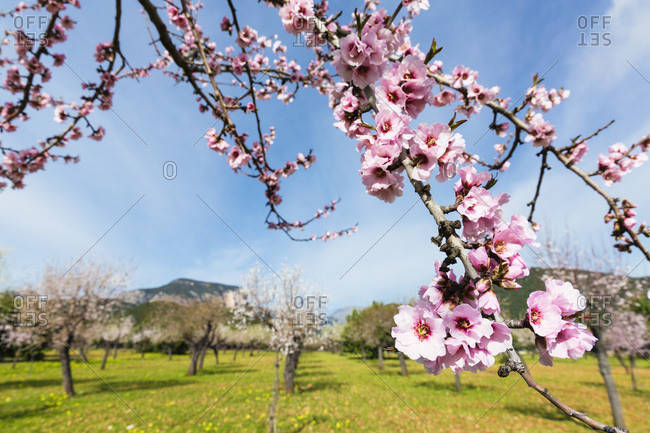 Blooming almond trees in an orchard on a field