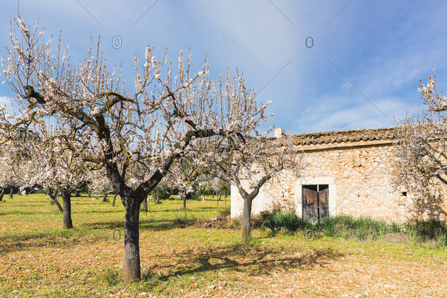 Blooming almond trees in an orchard on a field next to a shelter