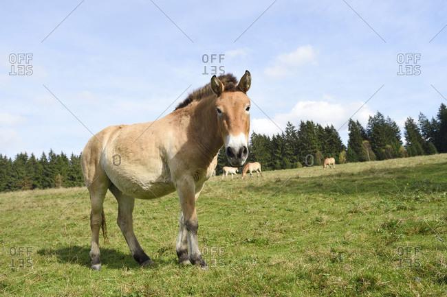 Portrait of przewalski's horse (equus ferus przewalskii) on meadow in autumn