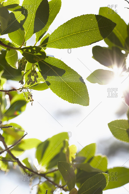 Close-up of green leaves with sun and lens flare