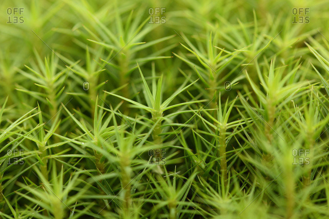 Close-up of common haircap moss (polytrichum commune) on the forest floor in autumn