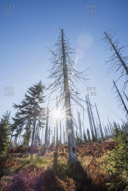 Dead Norway spruce (picea abies) forest killed by bark beetle (scolytidae)