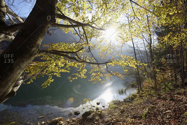 European beech (fagus sylvatica) tree beside langbathsee in autumn