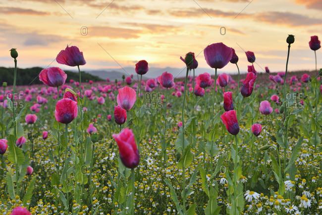 Close-up of opium poppy field (papaver somniferum)