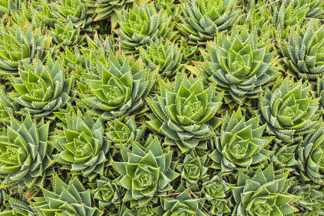 Overhead view of group of succulents, Canary Islands
