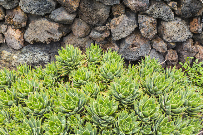 Group of succulents by stone wall, Canary Islands
