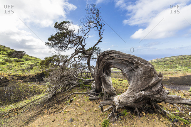 Juniper tree with oddly shaped trunk, Canary Islands