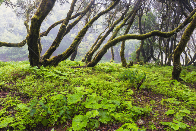 Primeval forest with tree heather (erica arborea) and hanging moss, Canary Islands