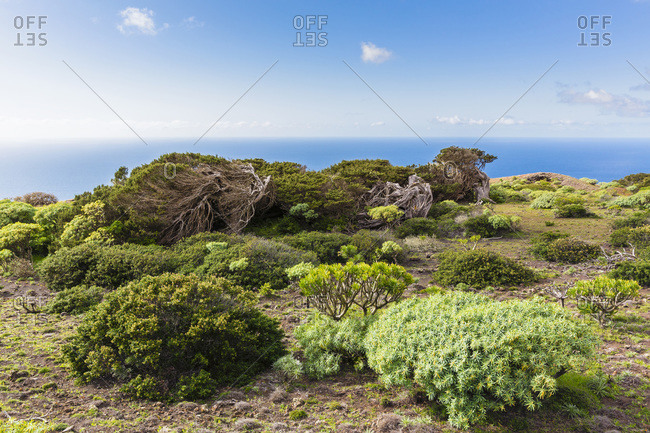 Euphorbia bushes and Canary Islands juniper (juniperus cedrus) trees bent by wind, Canary Islands
