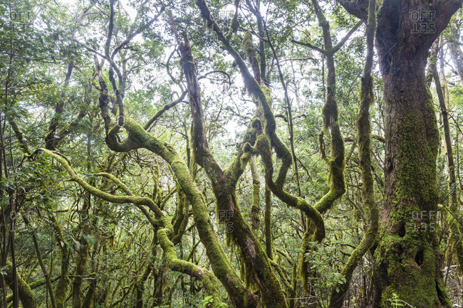 Dense vegetation in cloud forest, Canary Islands
