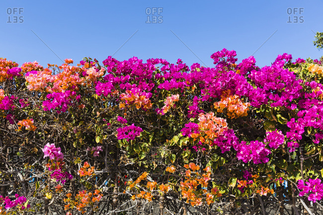 Colorful bougainvillea flowers in full bloom, Canary Islands