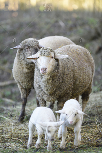 Close-up of a house-sheep (ovis orientalis aries) mother with her two lambs on a meadow in spring