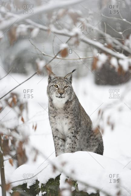 Portrait of Eurasian Lynx in winter