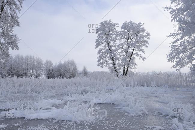 Landscape of frozen pond and common alder (alnus glutinosa) trees in winter
