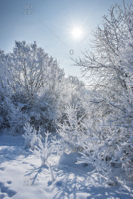 Snowy landscape of bushes and trees on sunny day in winter