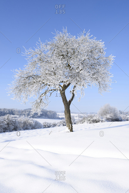 Landscape with frozen fruit tree on sunny day in winter