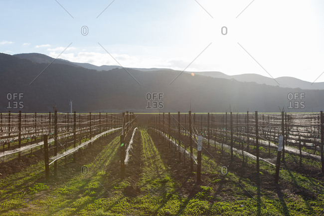 Rows of bare vines in a California vineyard