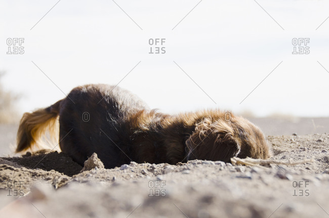 Dachshund puppy digging in the sand