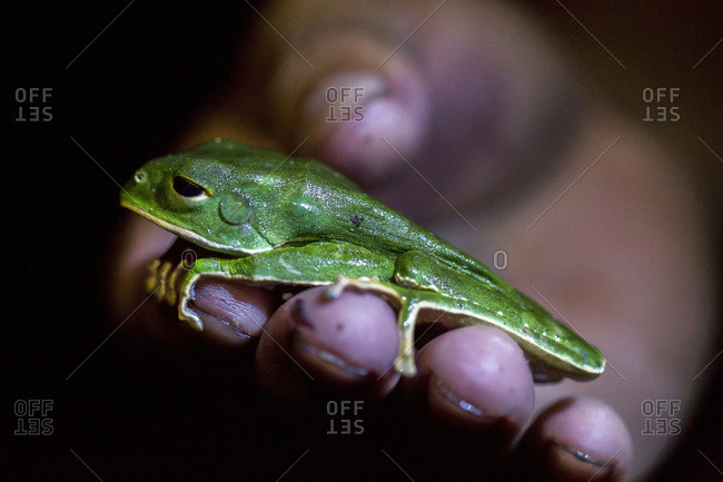 A monkey tree frog rests on hand on a in Peru's Amazon Jungle