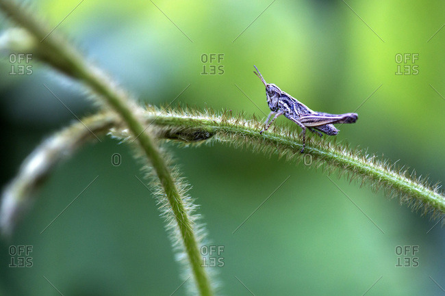 A grasshopper rests on a stem in Peru's Amazon Jungle