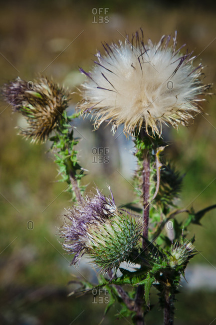 A blooming Creeping Thistle plant