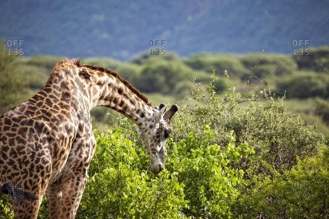 Giraffe at Lake Manyara National Park, Tanzania
