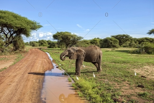 Elephant along road at Lake Manyara National Park, Tanzania