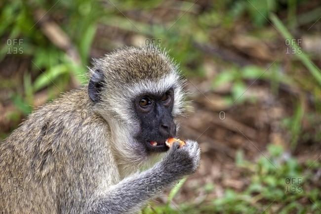 Monkey at Lake Manyara National Park, Tanzania