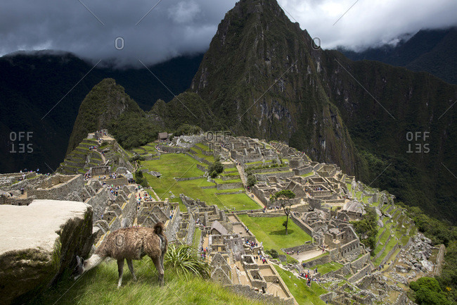 A llama is at the site of Machu Pichu in Cusco, Peru