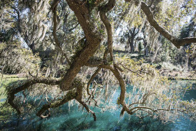 An oak tree branch dips into the pond at Mepkin Abbey in South Carolina