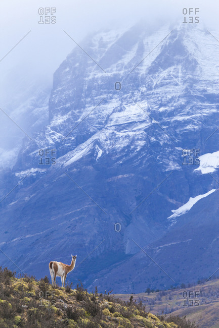 A wild guanaco (lama guanicoe) in Chile's Torres del Paine National Park