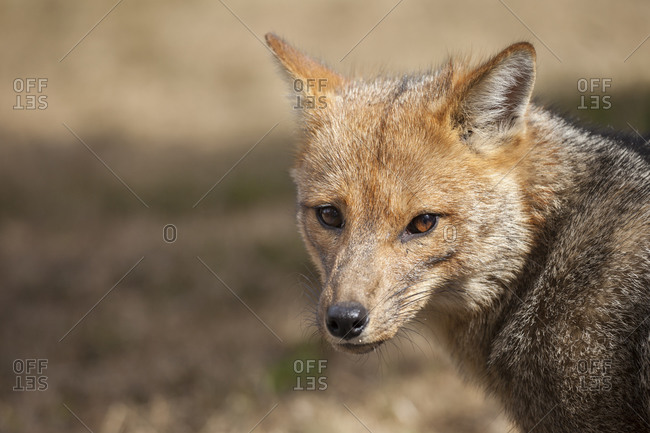 A Patagonian Fox (Lycalopex griseus) in Chile's Torres del Paine National Park