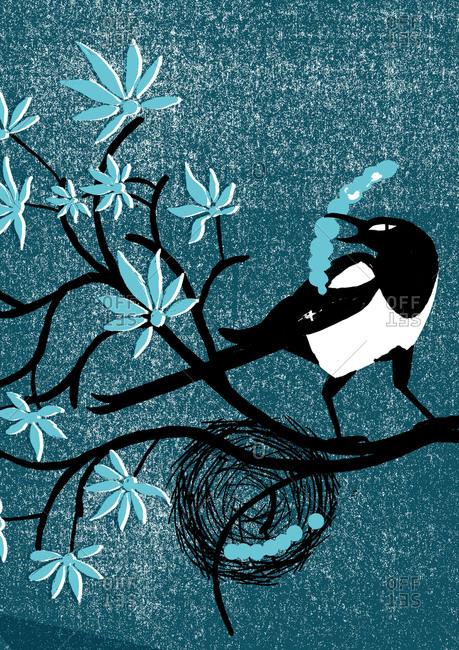 Magpie building a nest