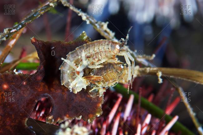 Two Amphipoda in their habitat