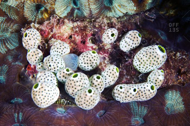 Didemnum molle colony in the sea