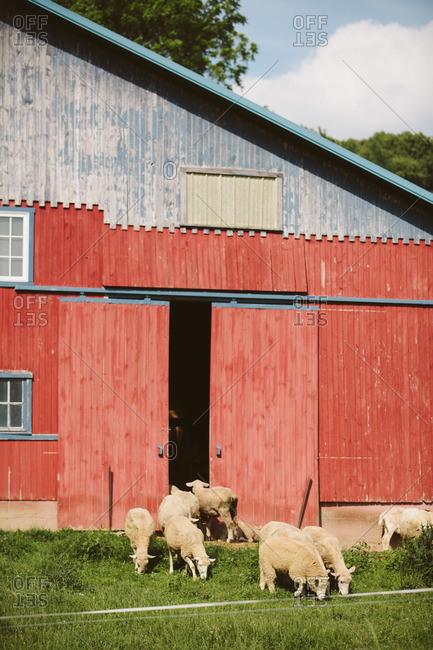 Sheep grazing by barn entrance