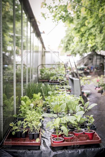 Seedlings in a plant nursery