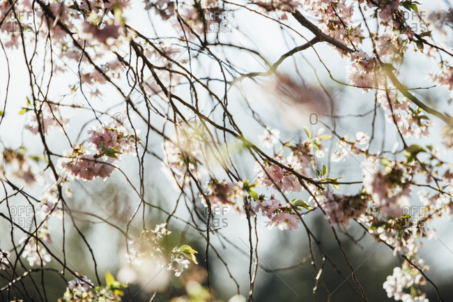 Blossoming almond tree - Offset Collection