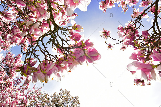 Blooming magnolia trees - Offset Collection